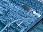 TikTok shows massive shark chasing a seal in Mornington Peninsula bay popular with swimmers